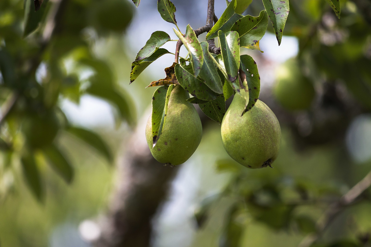 two pears on pear tree