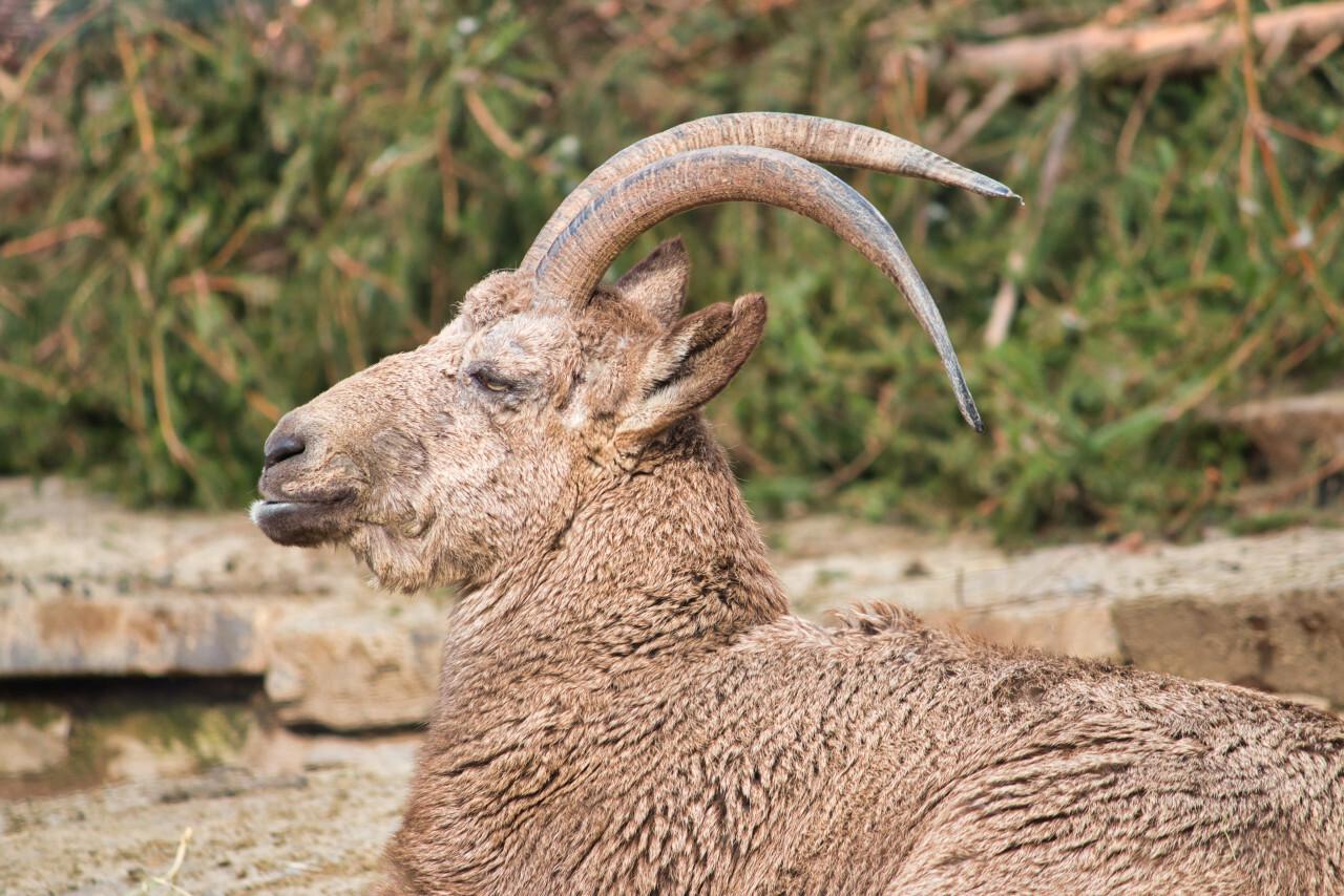 Male alpine ibex