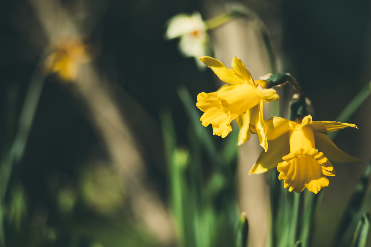 Yellow Miniature Daffodils