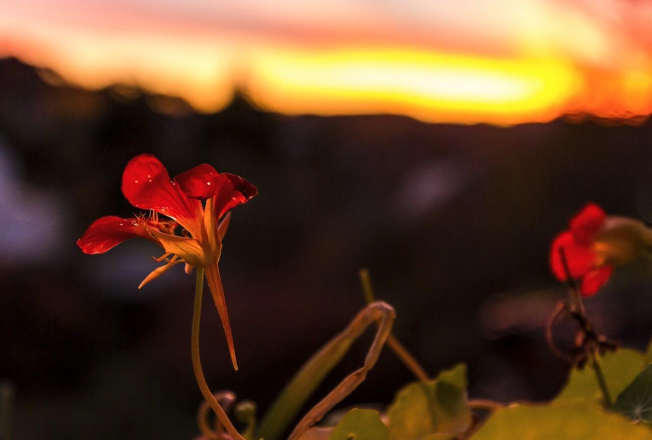 red flower sunset