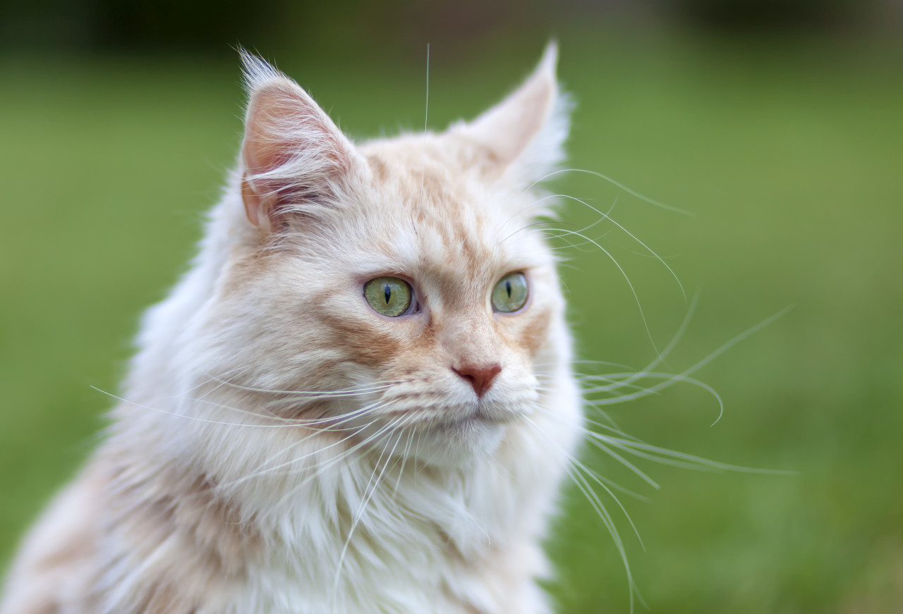 Portrait of a Maine Coon Cat with green eyes on beautiful bokeh
