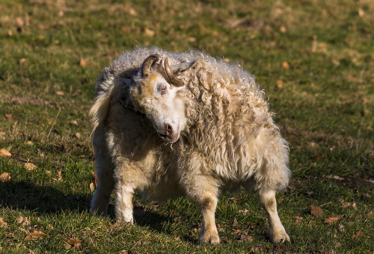sheep dressing up