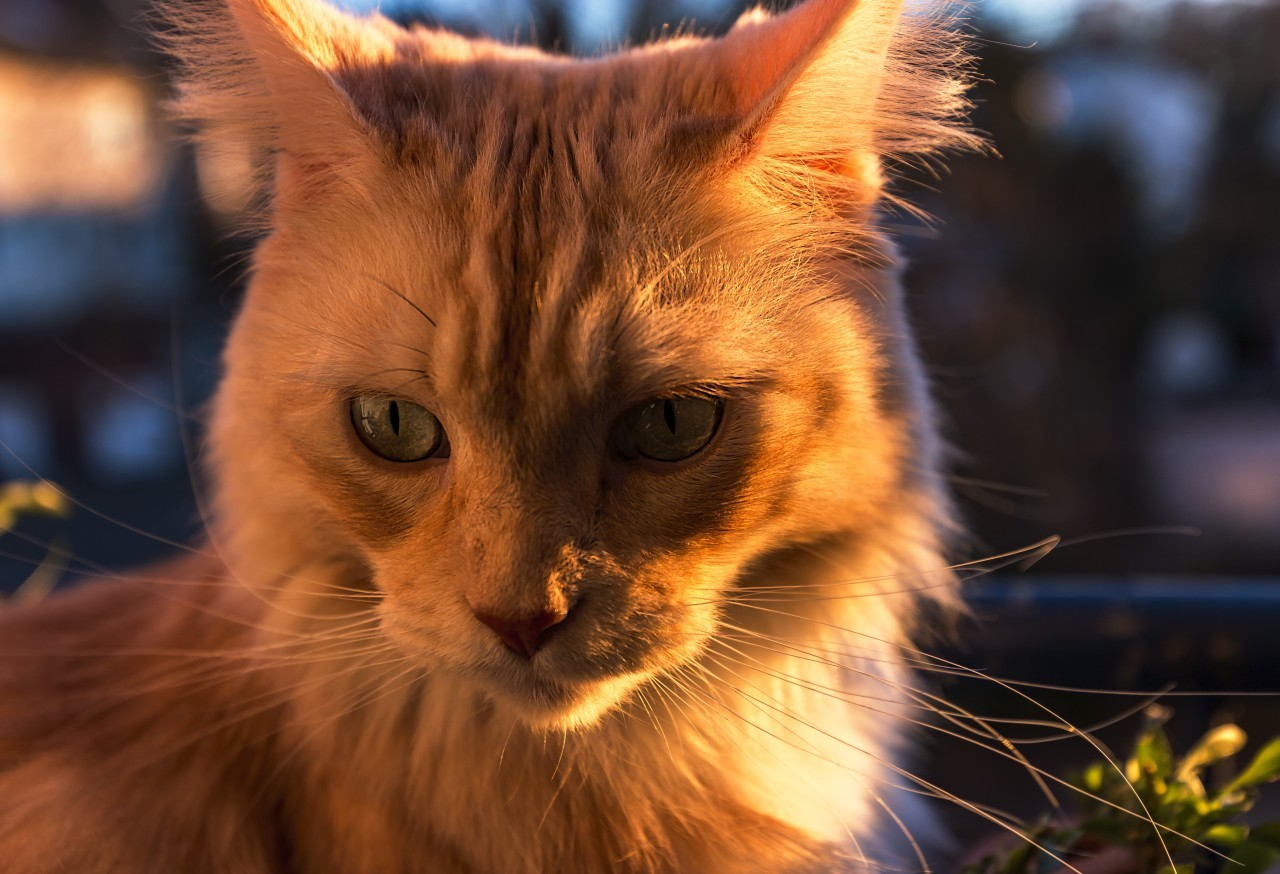 Maine Coon Cat sitting by sunset on the balcony portrait