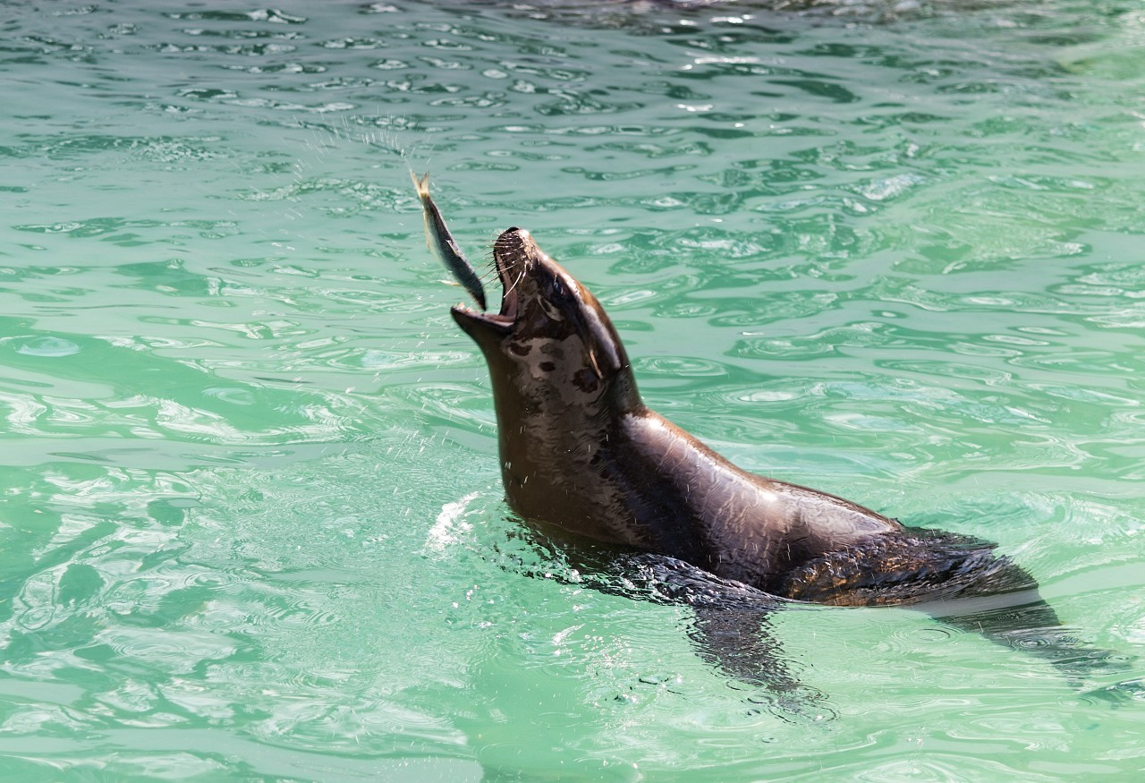sea lion is playing with a fish
