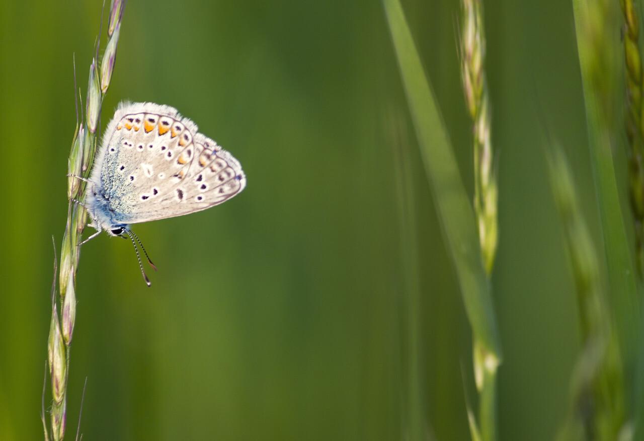 blue butterfly polyommatus bellargus