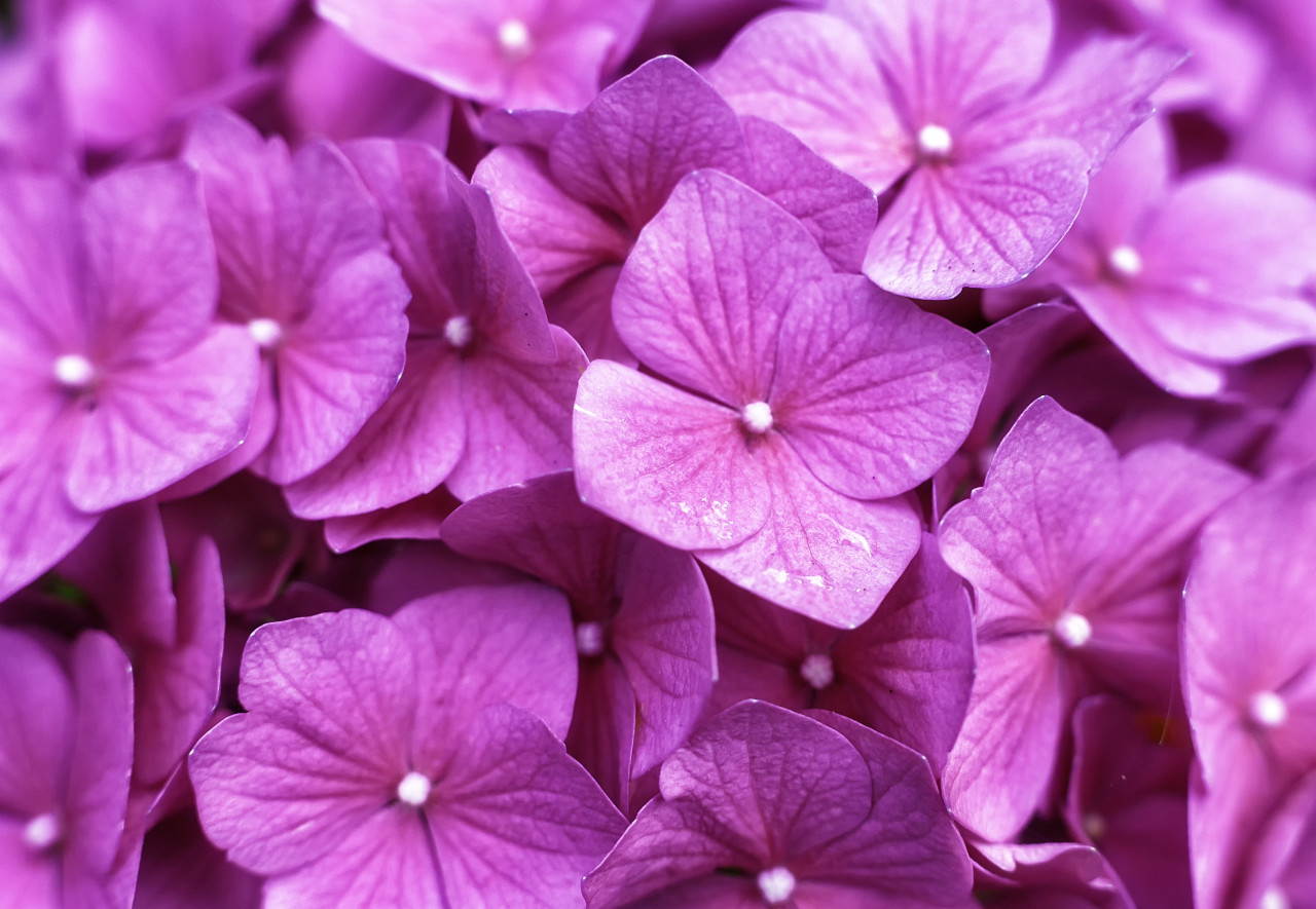 pink lilac flower background