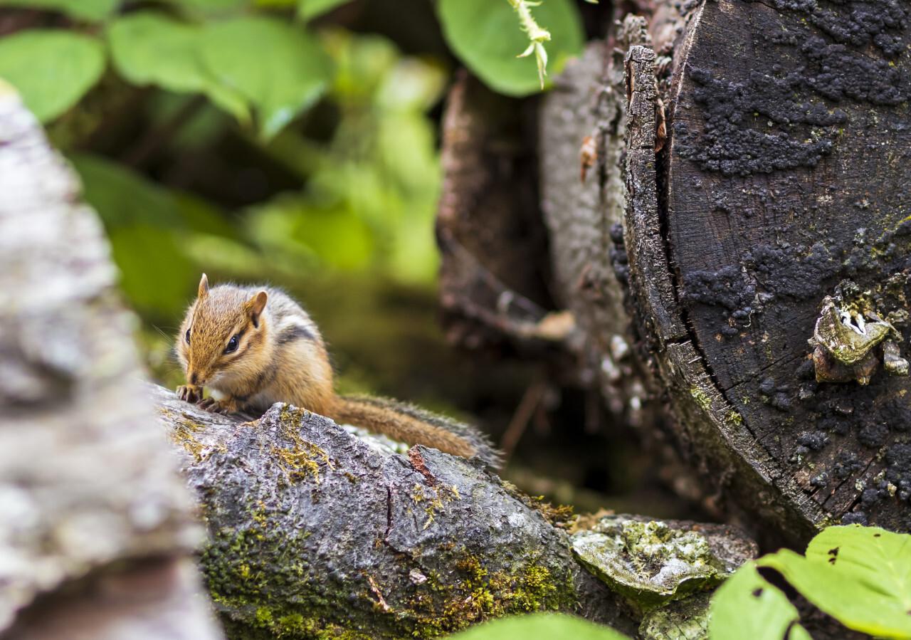 chipmunk in a forest