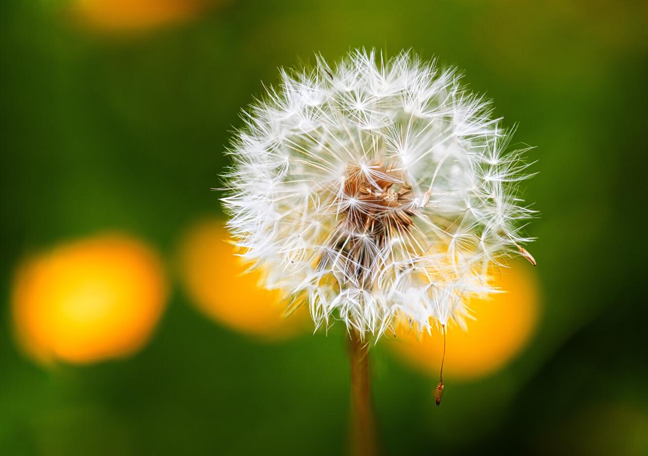 Perfect dandelion seeds