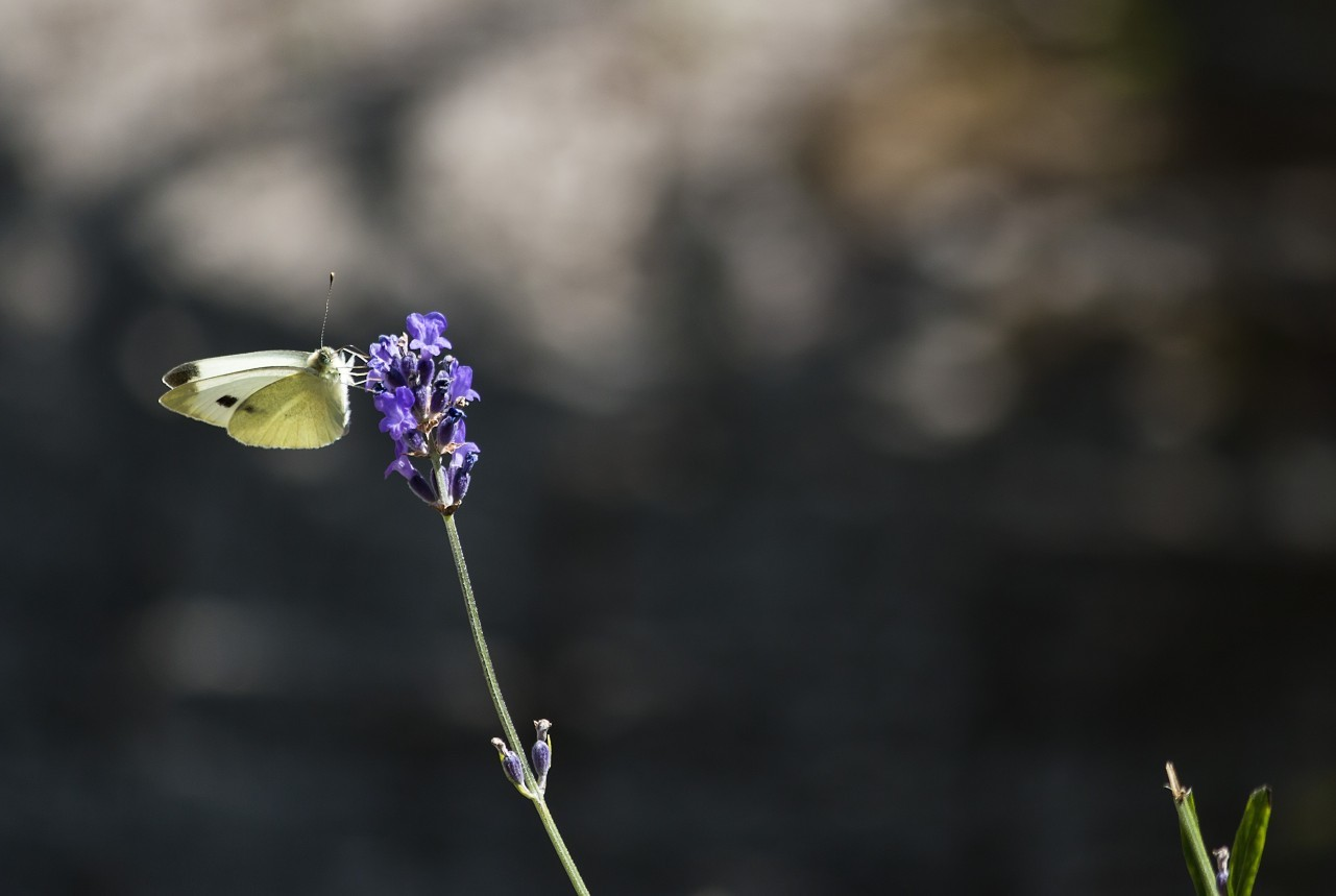 large white butterfly on lavender flower