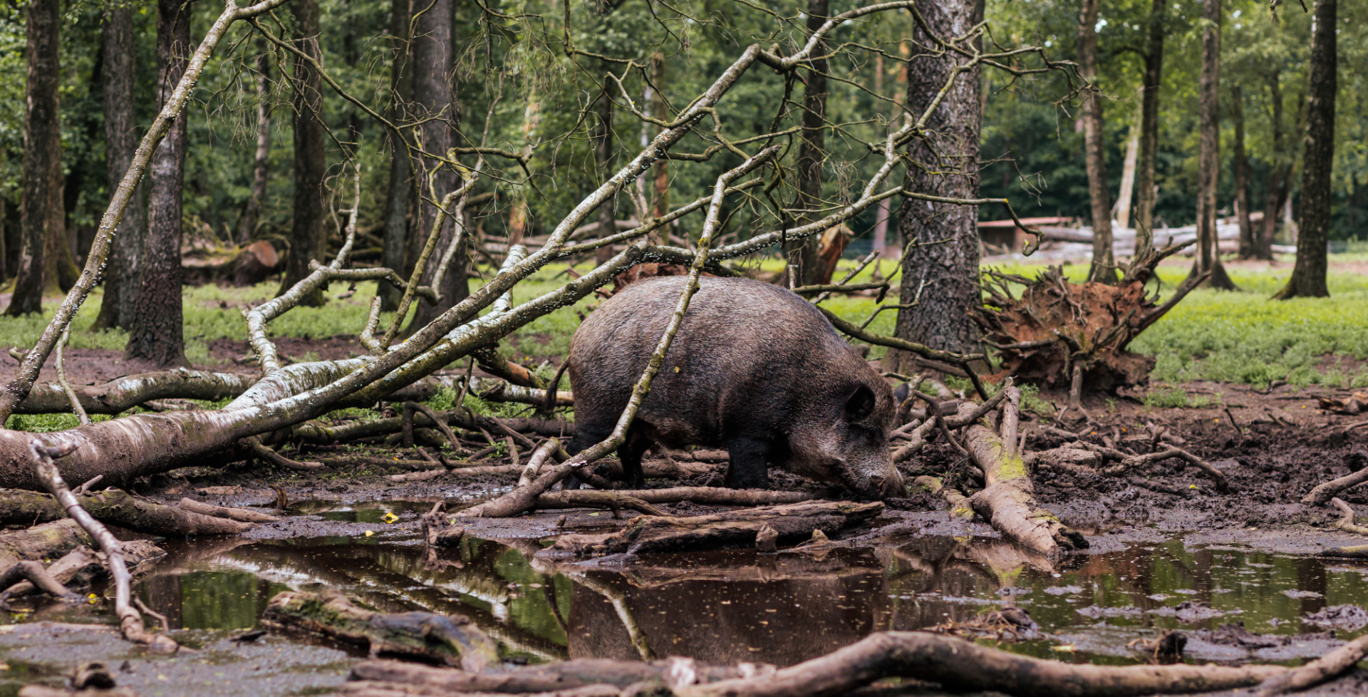 Male wild boar at a watering hole in the forest