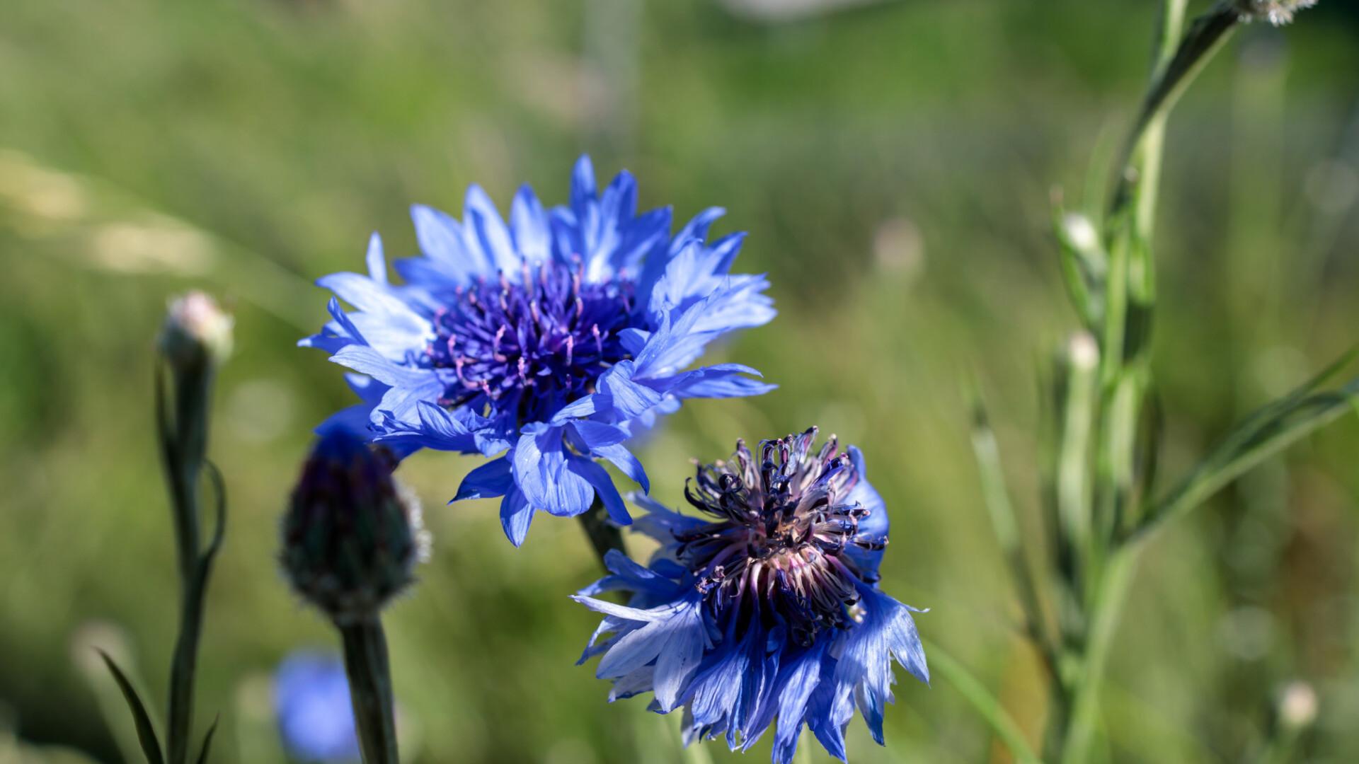 mountain cornflower, bachelor's button, montane knapweed or mountain bluet