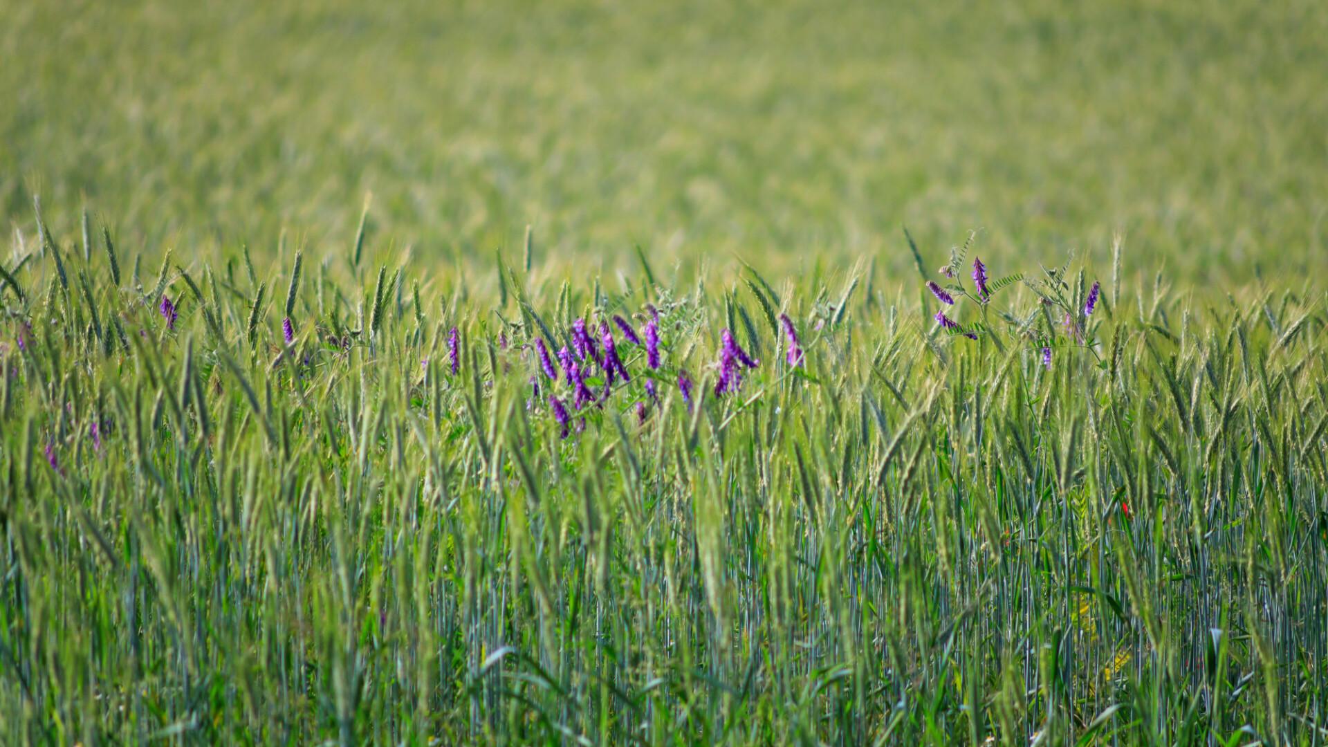 Purple flowers Skullcap in a rye field