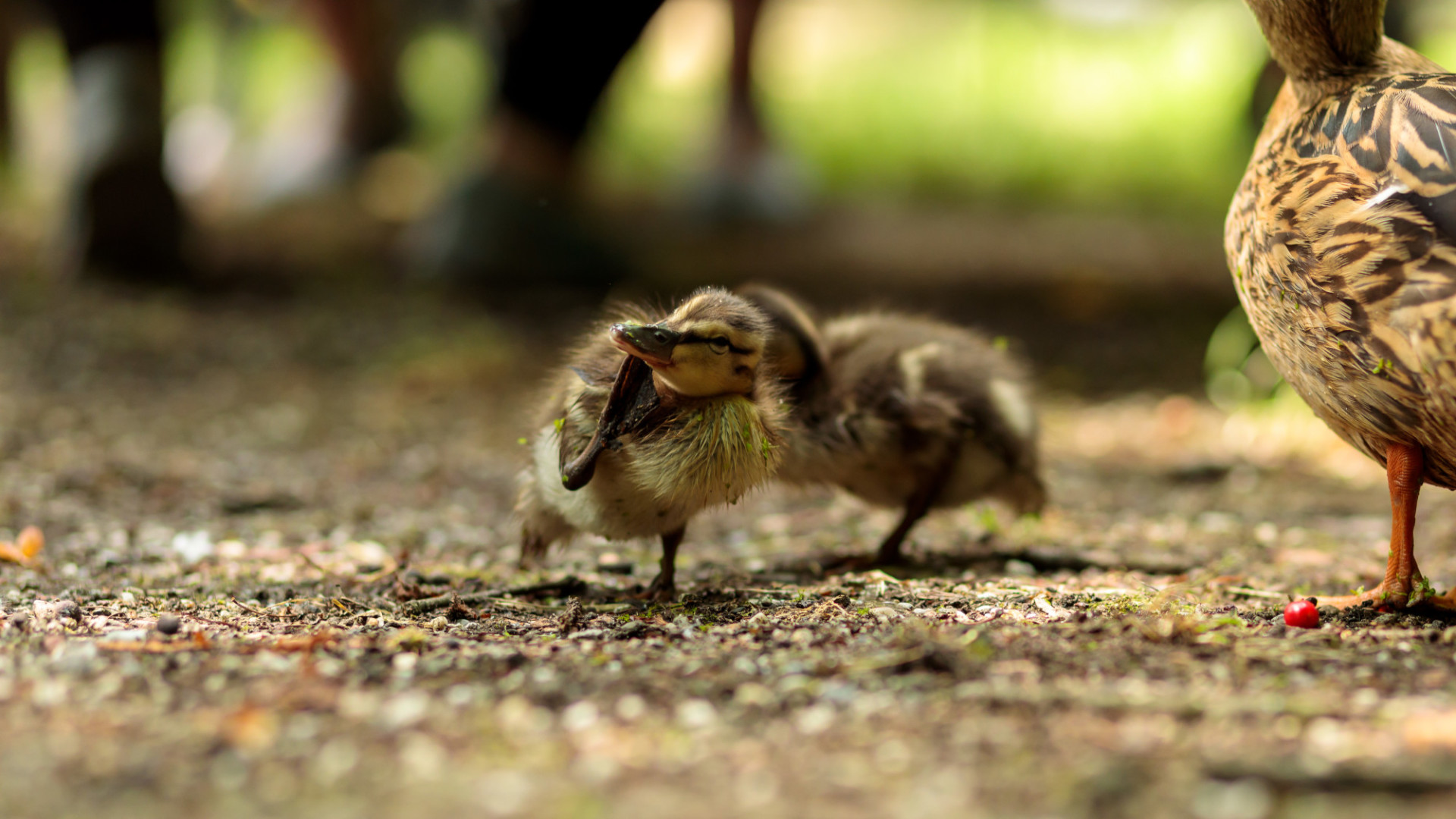 Duckling scratching its head