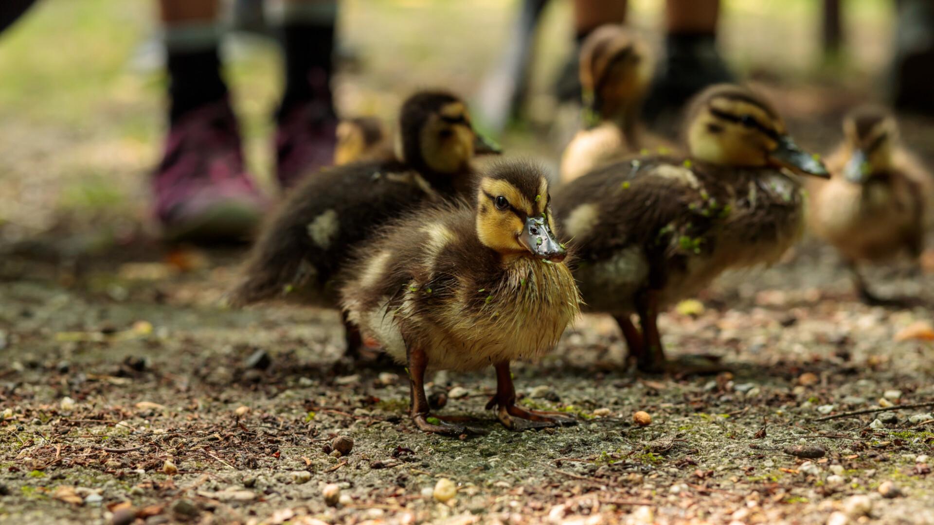 Many cute little ducklings