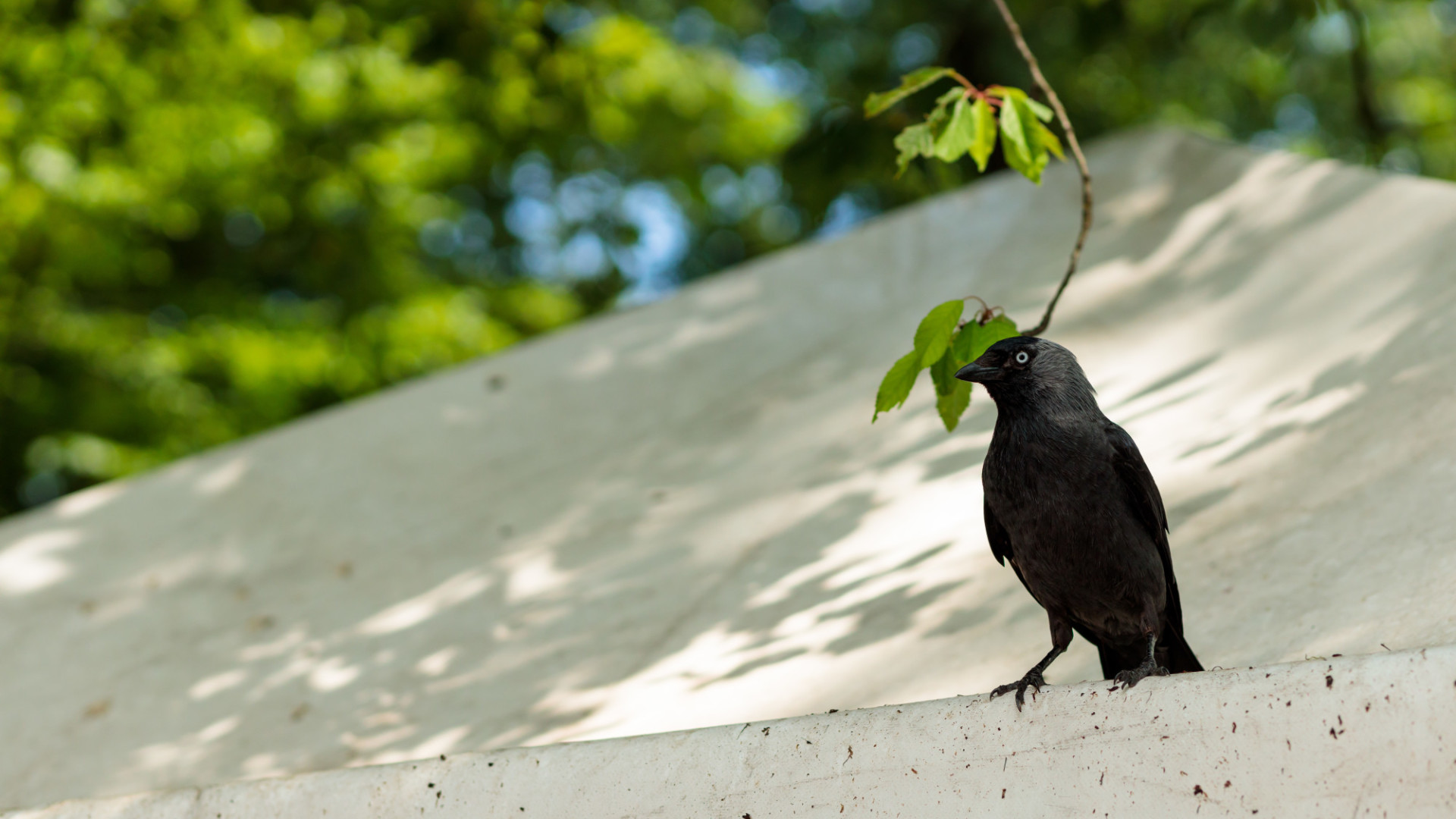 A jackdaw sits on a tent roof