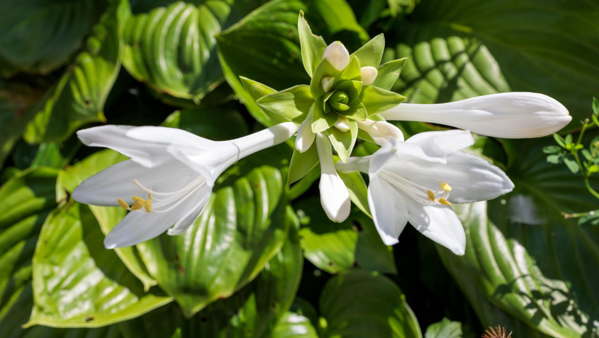 White August Lily Hosta plantaginea Grandiflora