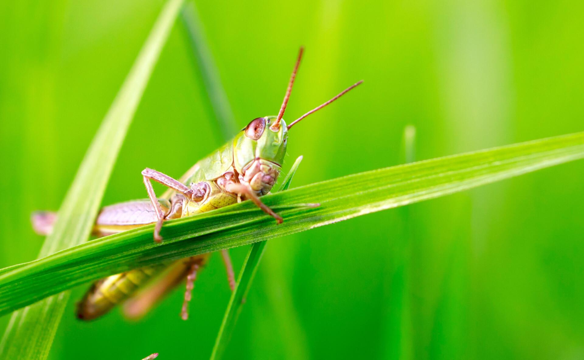 Green grasshopper macro photo