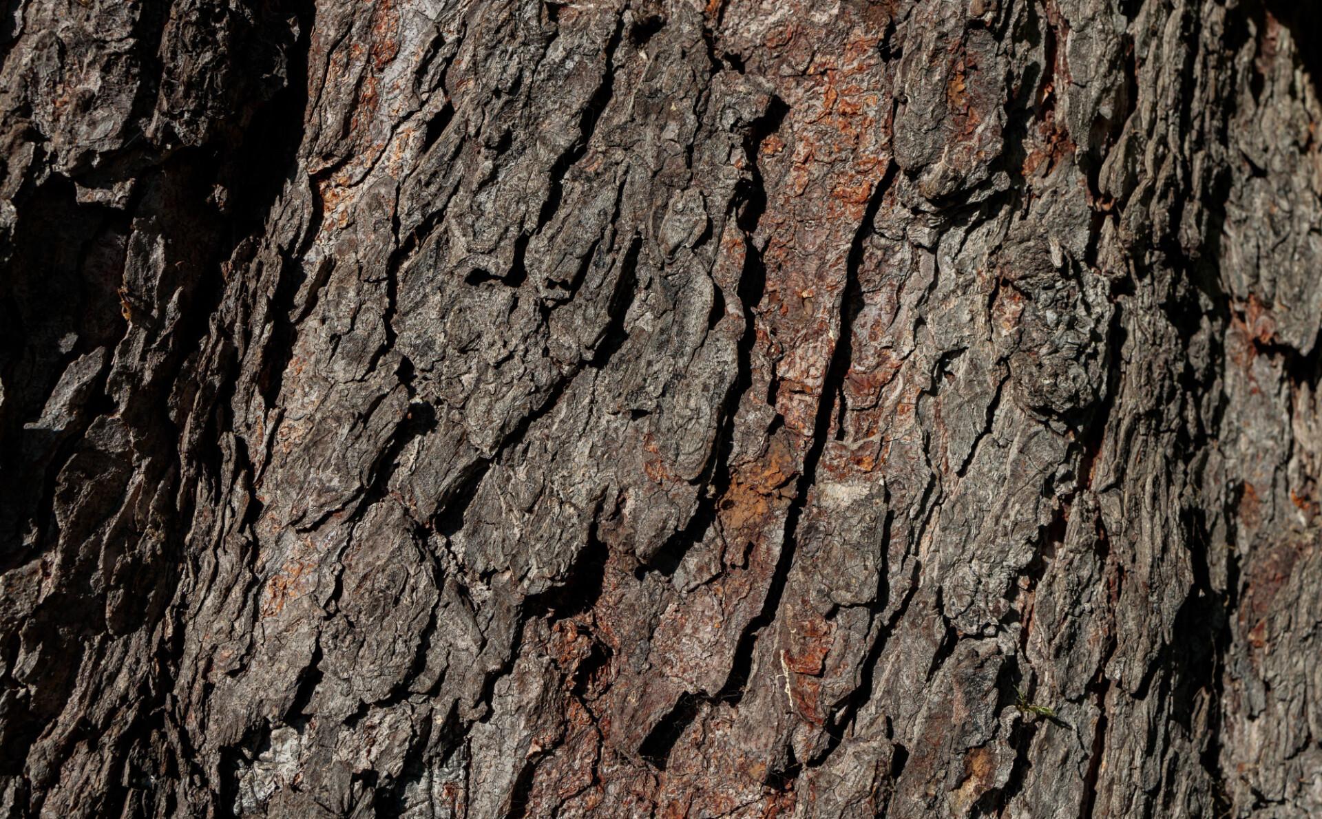 Bark of a chestnut tree