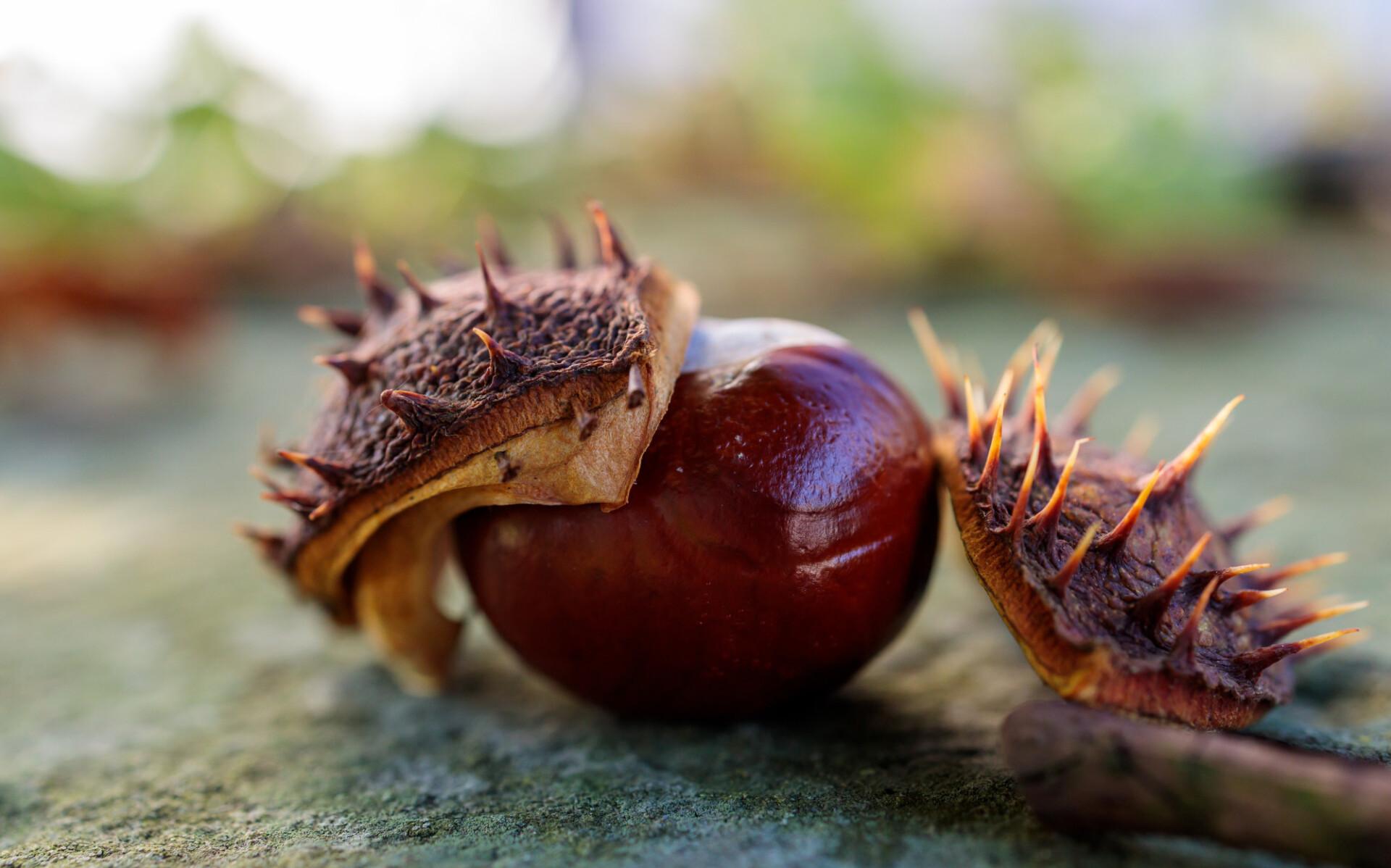 Chestnut on the ground in autumn