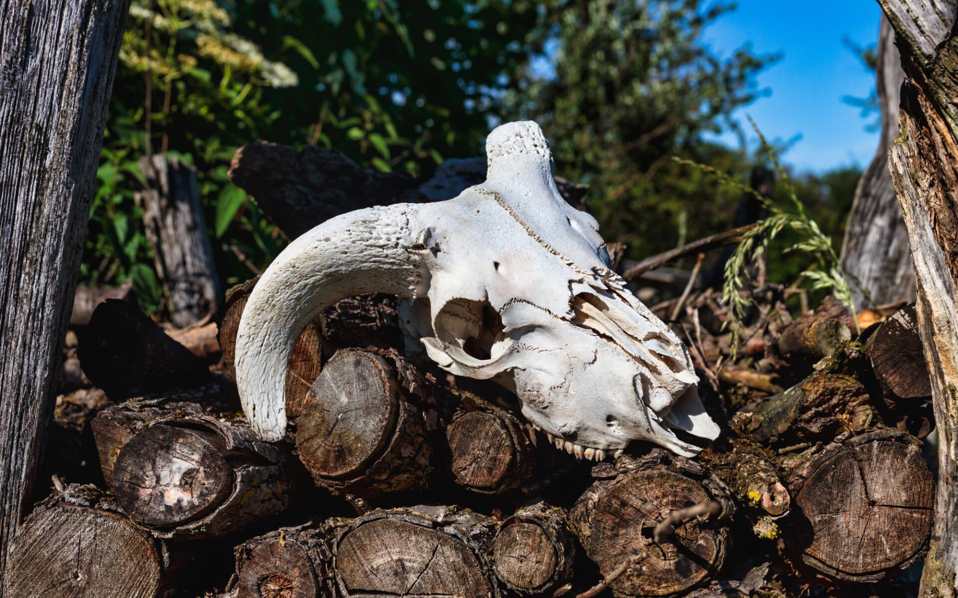 Skull of a sheep