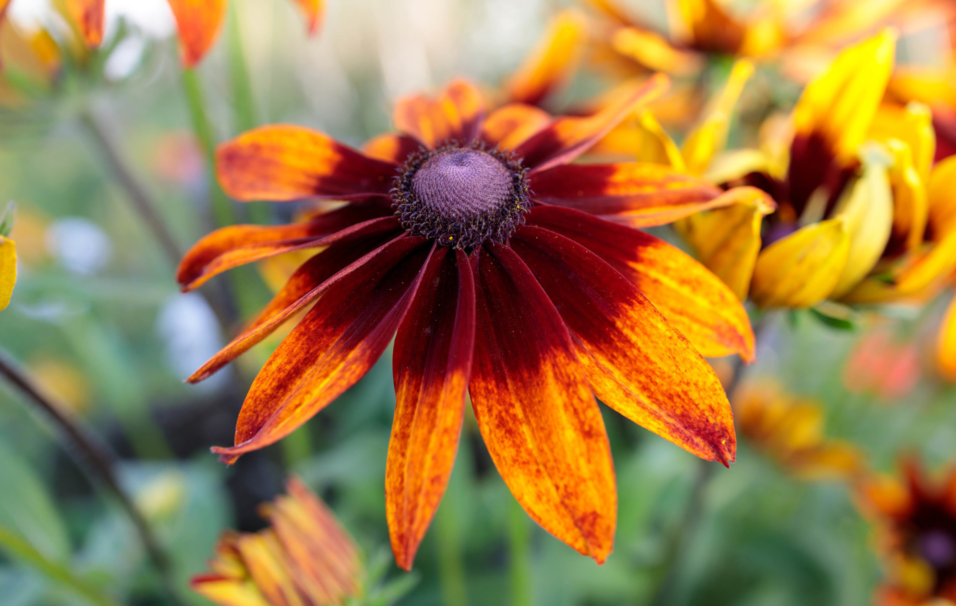 Black-eyed Susan from above