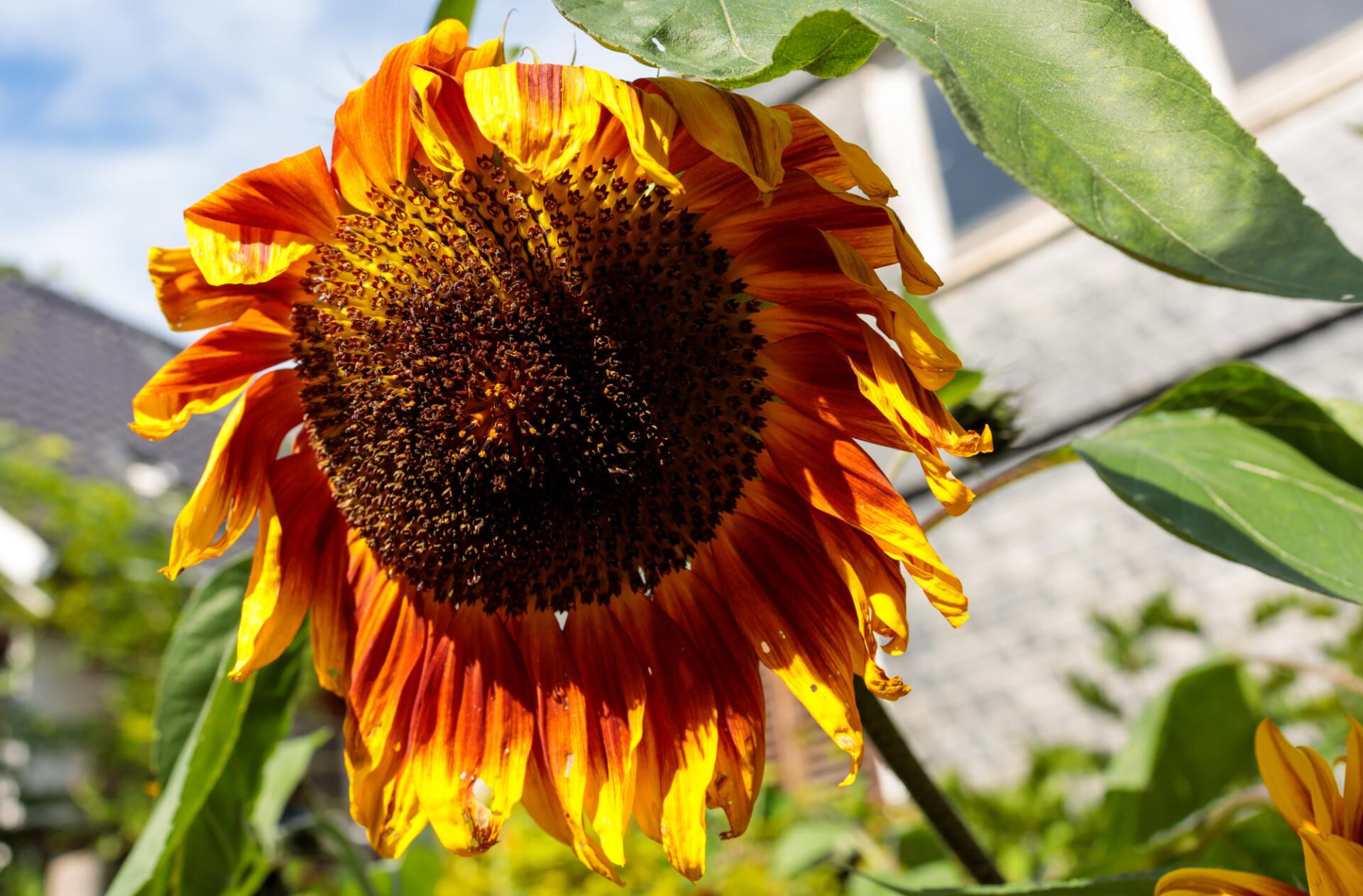 Yellow red sunflower in the garden