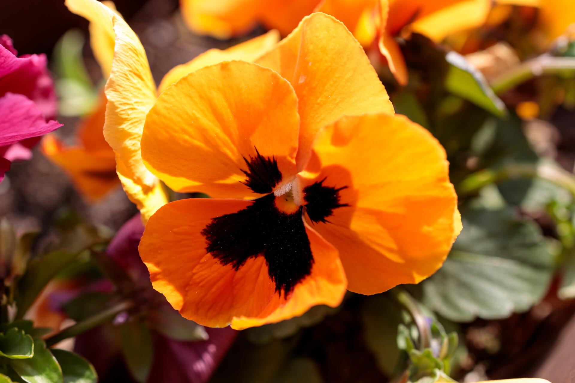 orange pansy flower