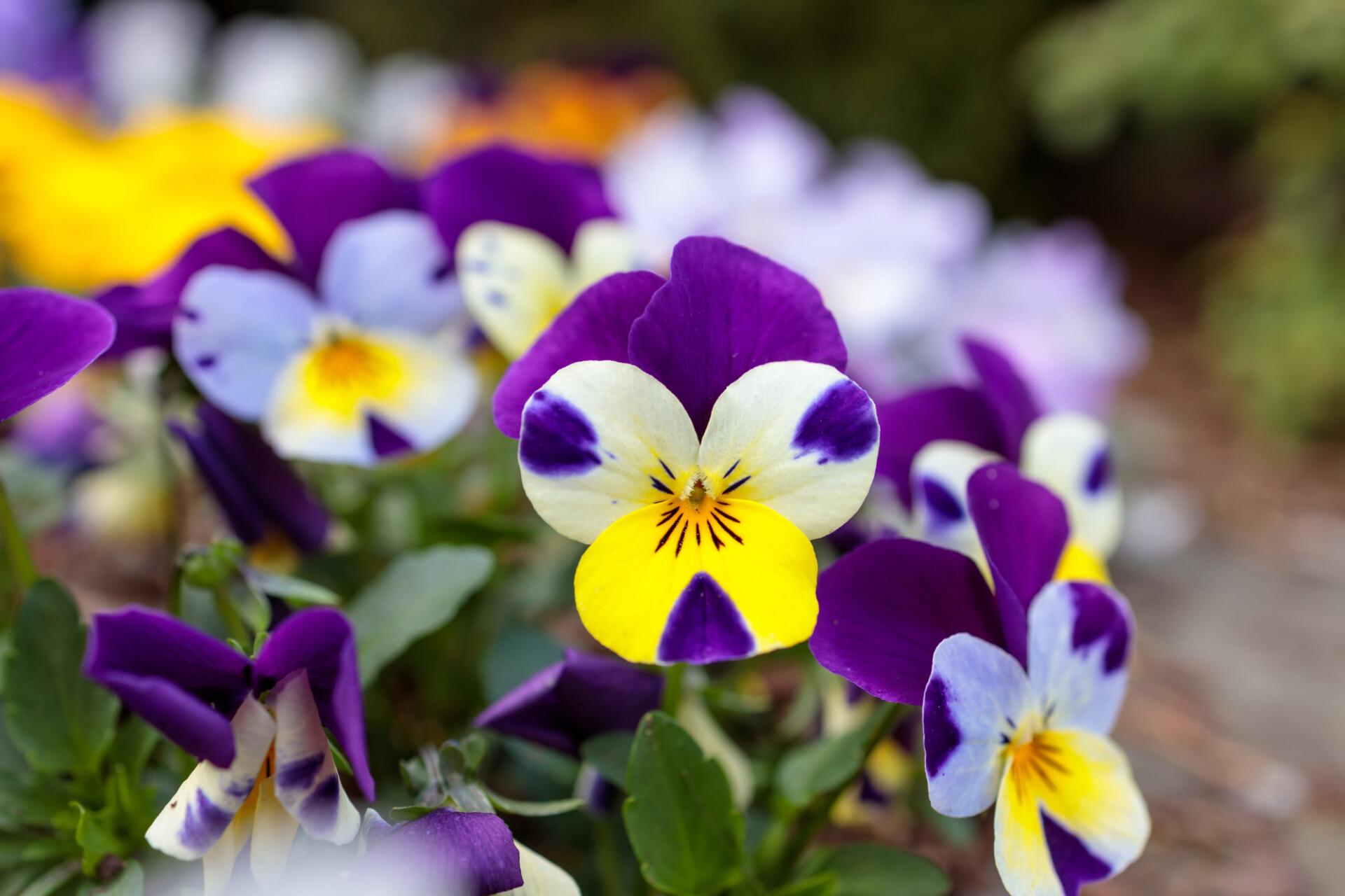 Beautiful Viola Flowers