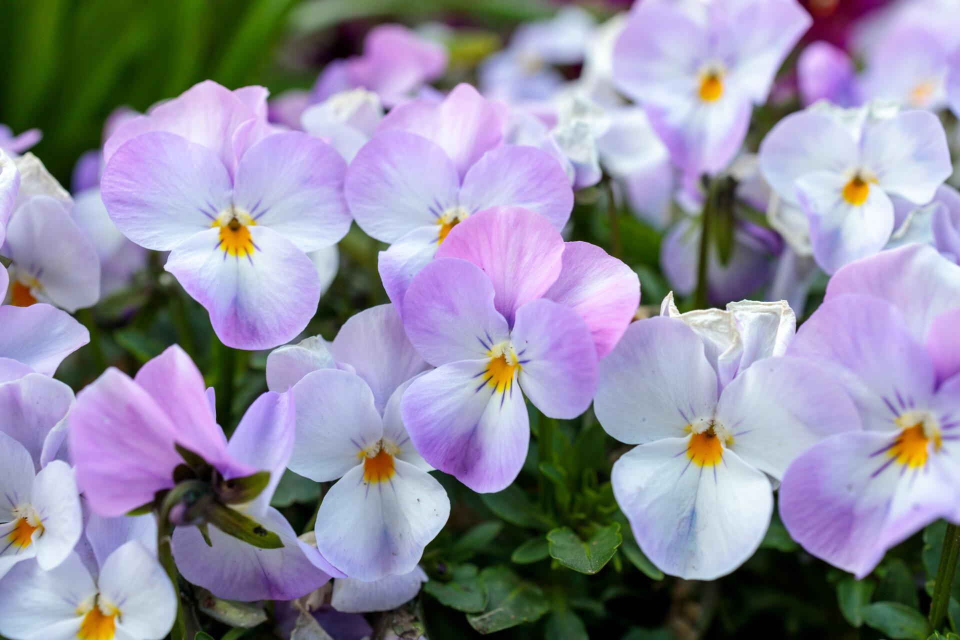 Bright purple viola flowers