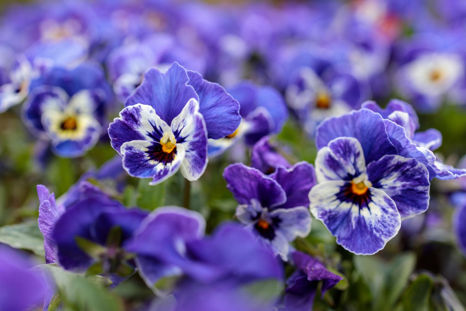white and dark purple viola flowers
