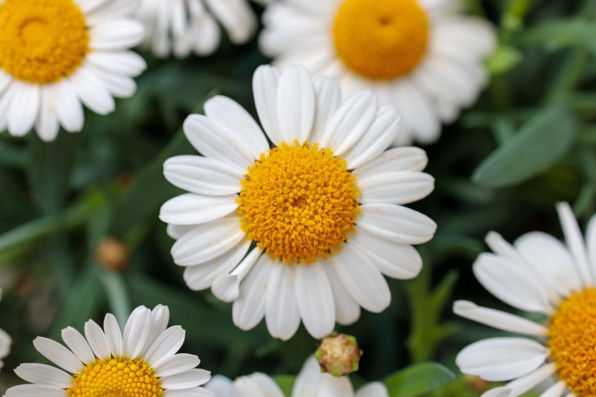 white daisy flower macro