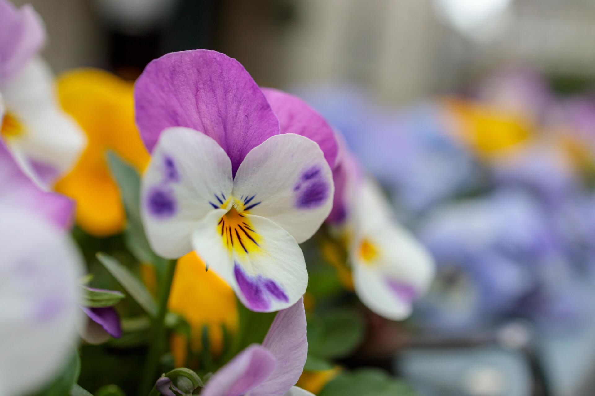 pansy flower