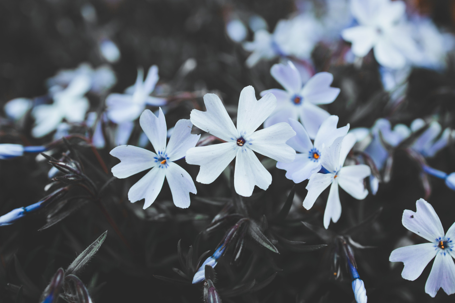 Phlox subulata Early Spring Blue