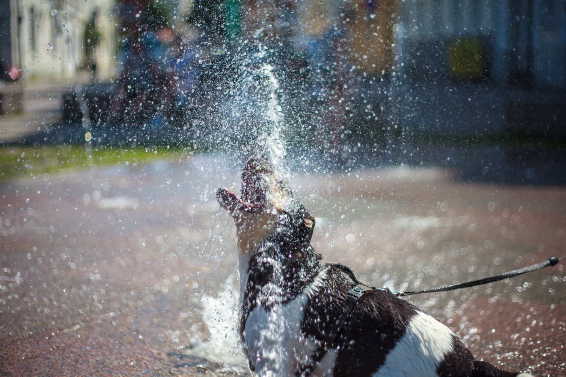 Dog plays with the water from a fountain in summer