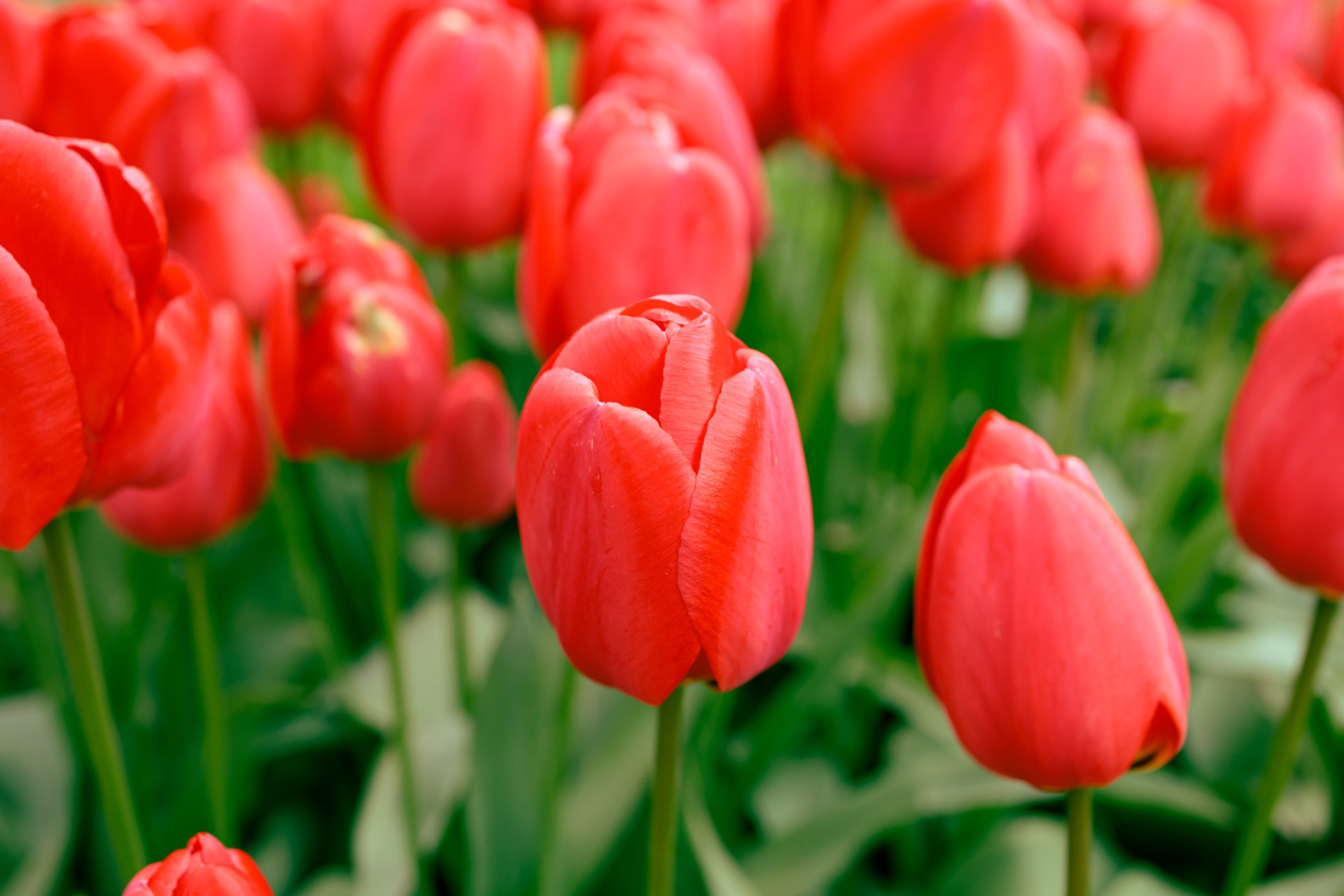 Red Tulips Background in May
