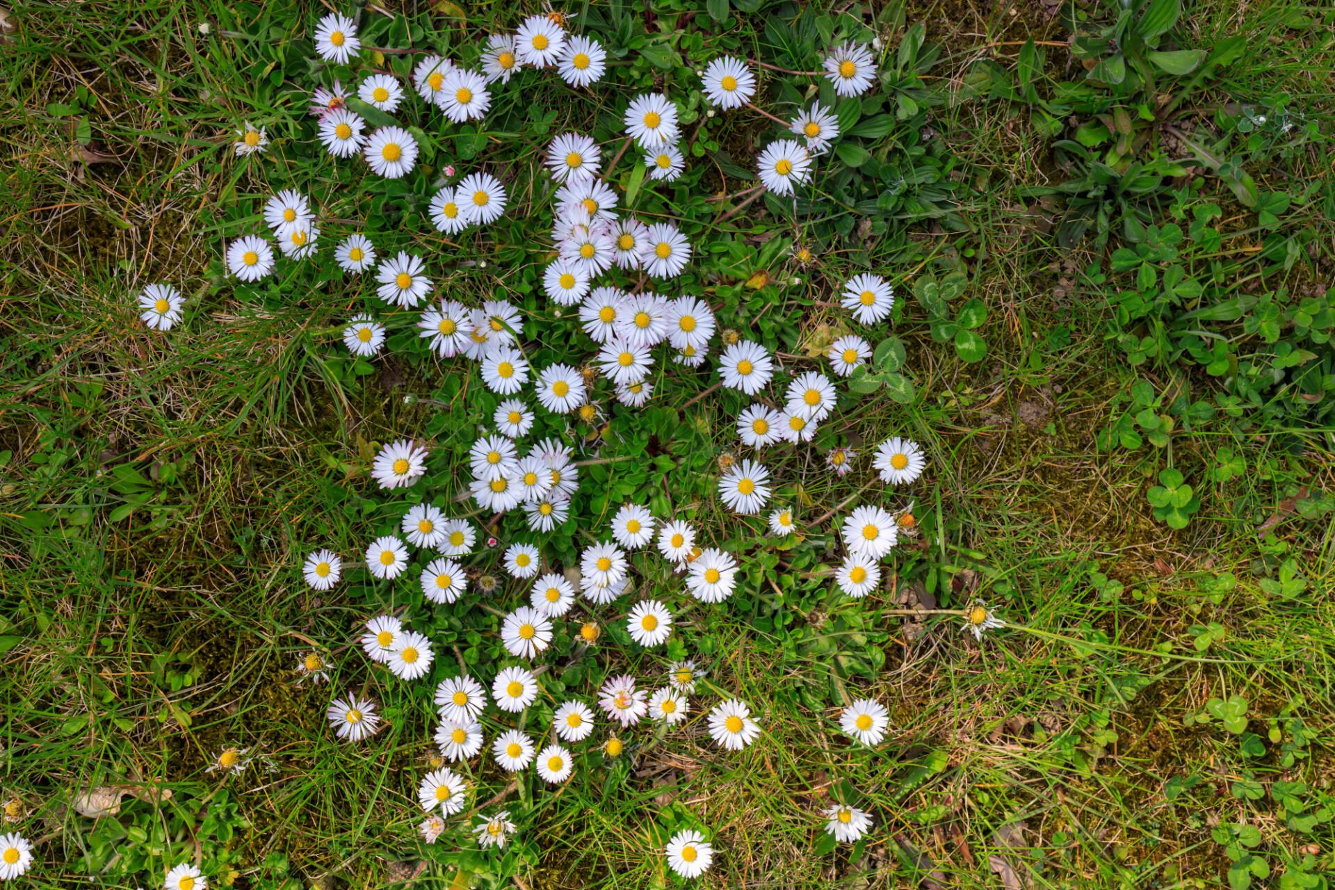 meadow daisy texture