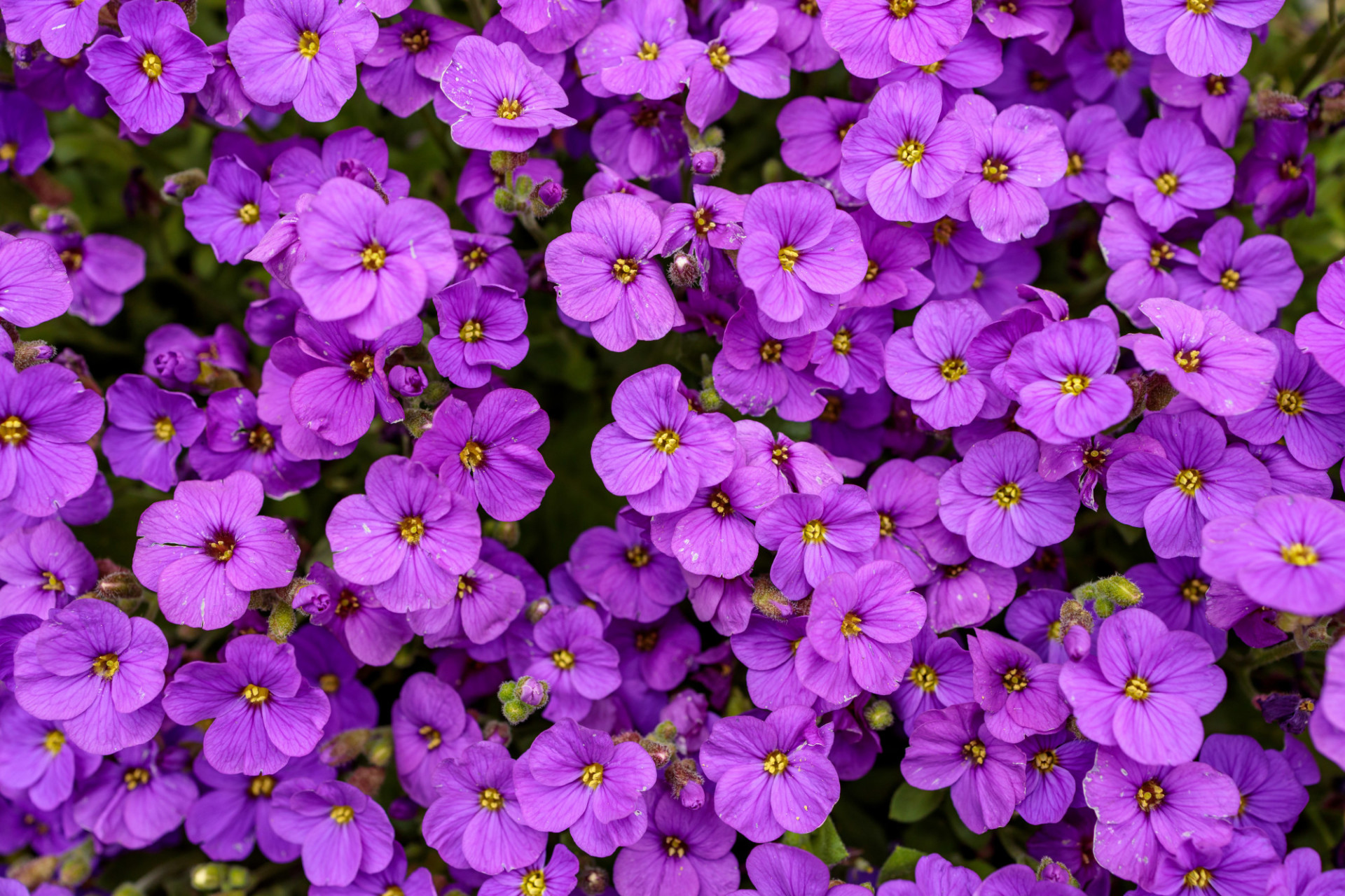 Aubrieta Violet Flowers Background