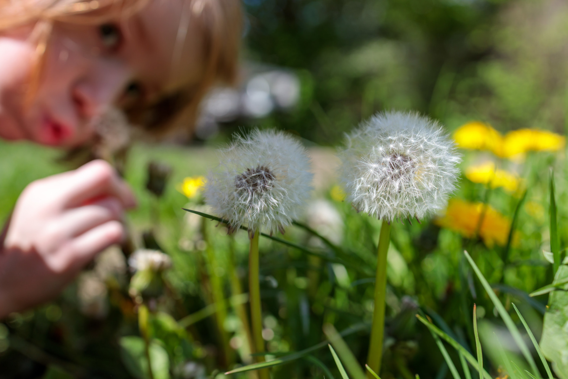 Children love dandelions