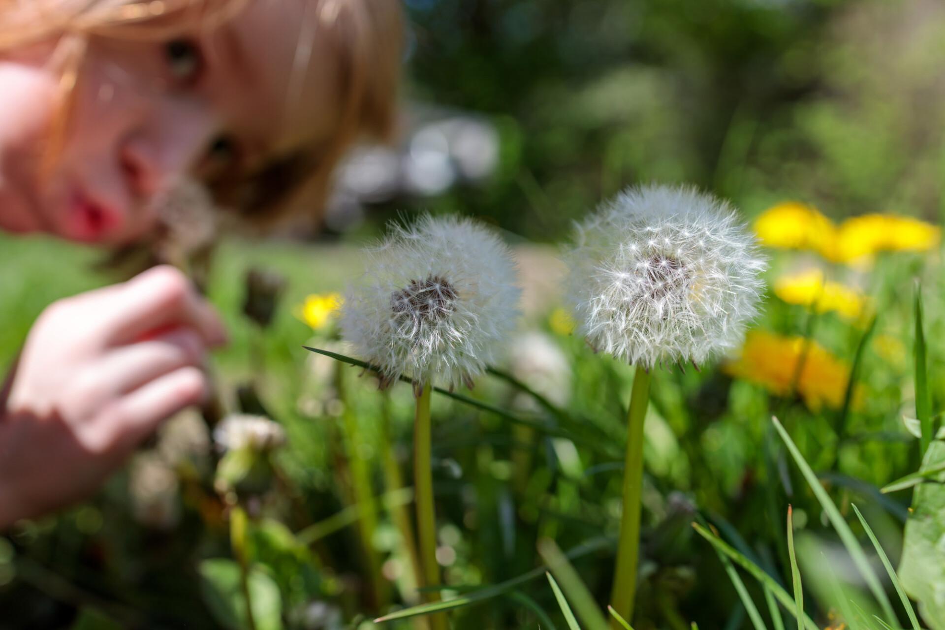 Children love dandelions