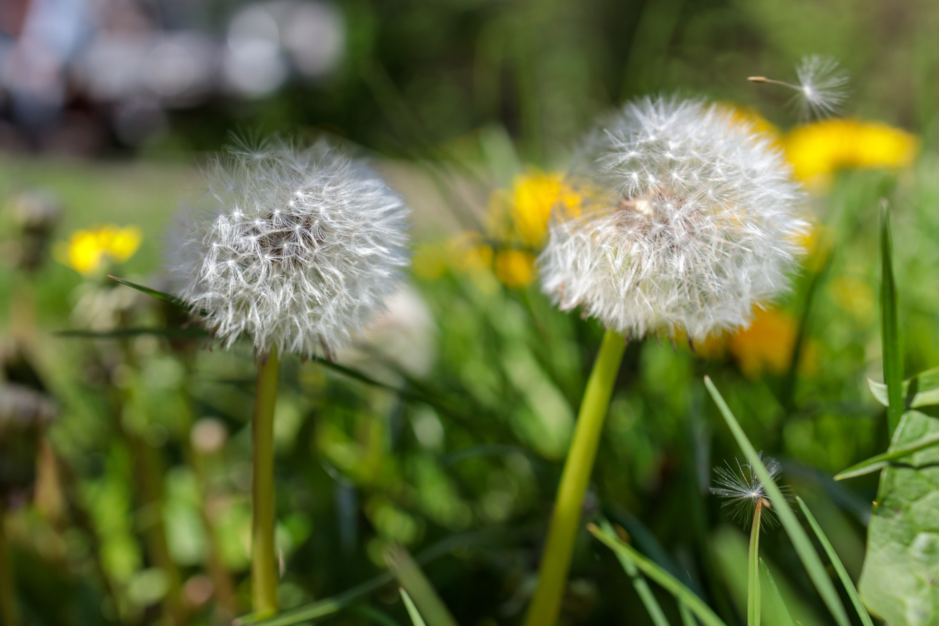 Two dandelions in the wind
