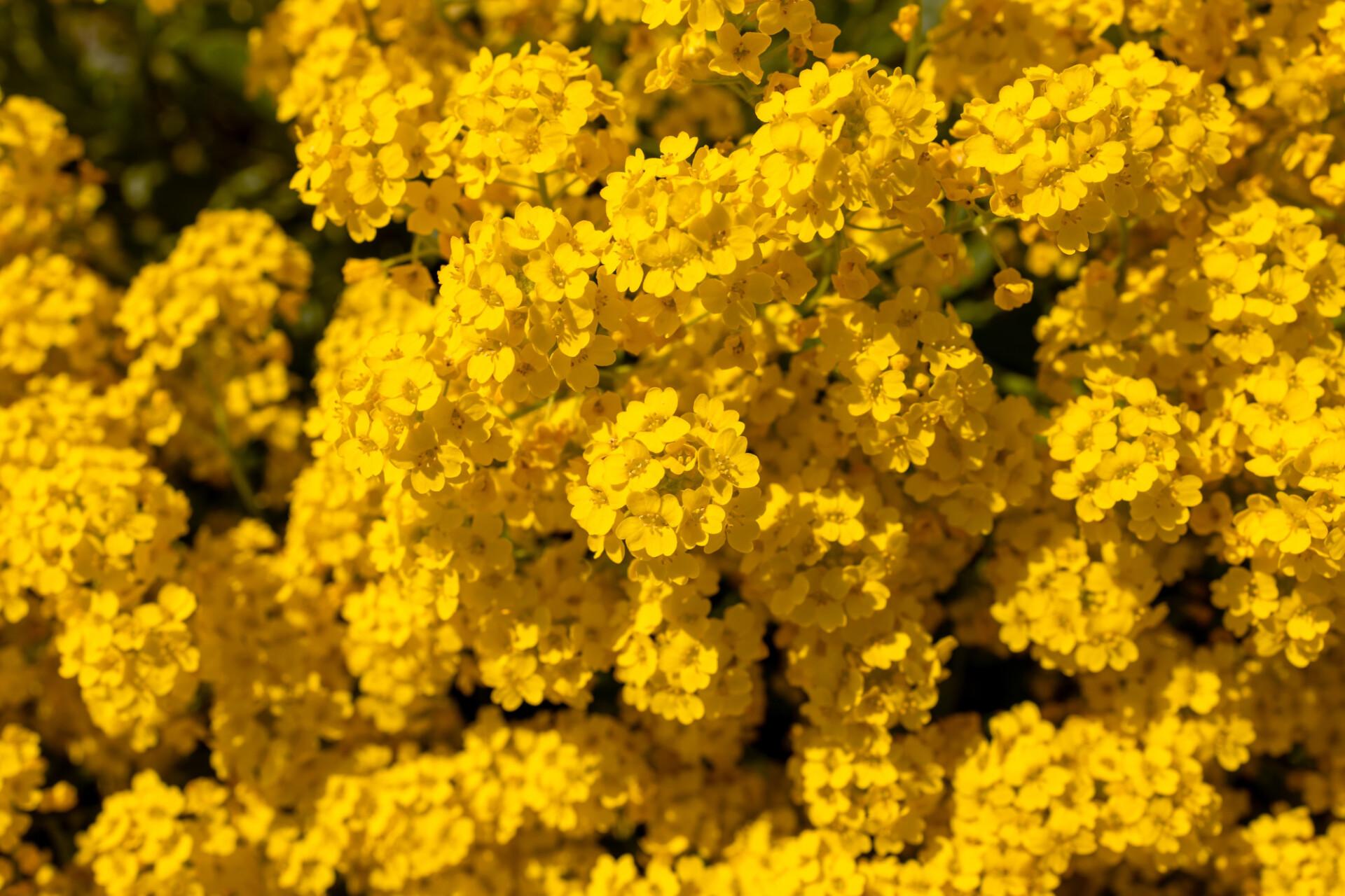 yellow sweet alyssum in may