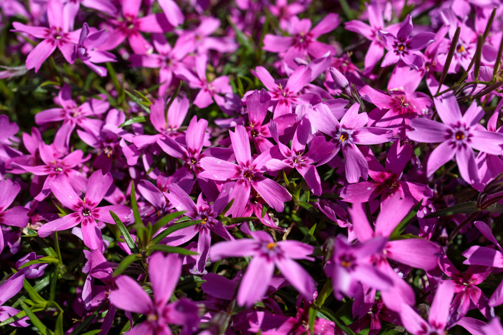 Purple phlox paniculata