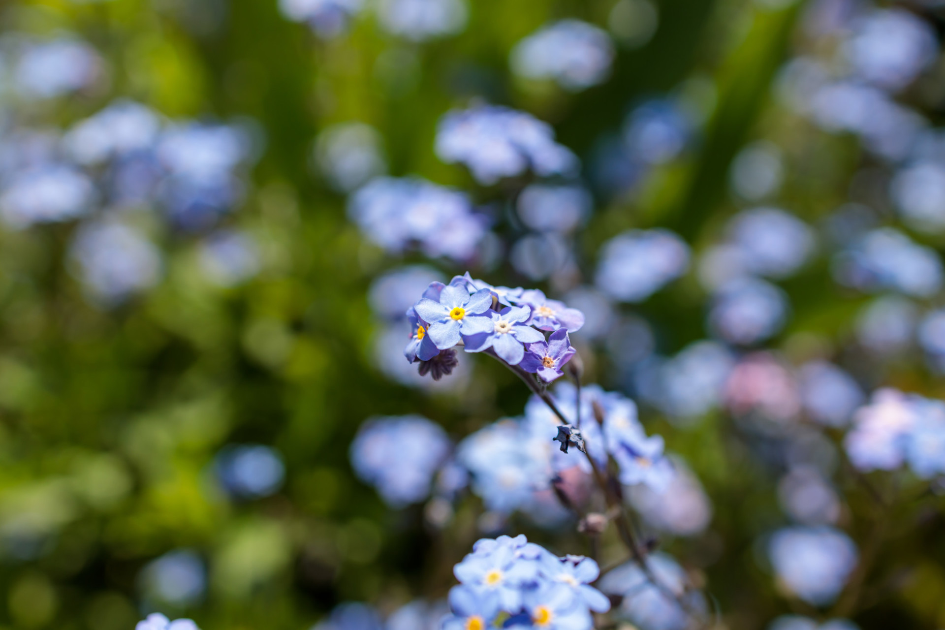 Blooming forget-me-nots