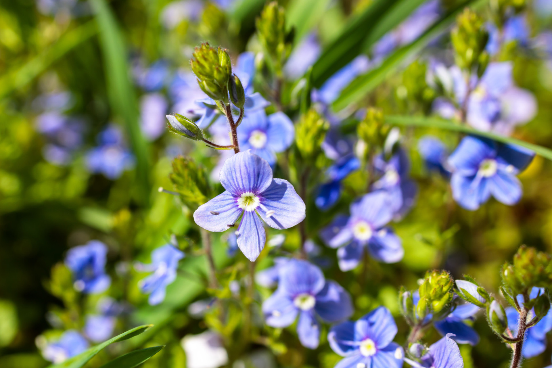 Blue forget-me-nots in the garden in May