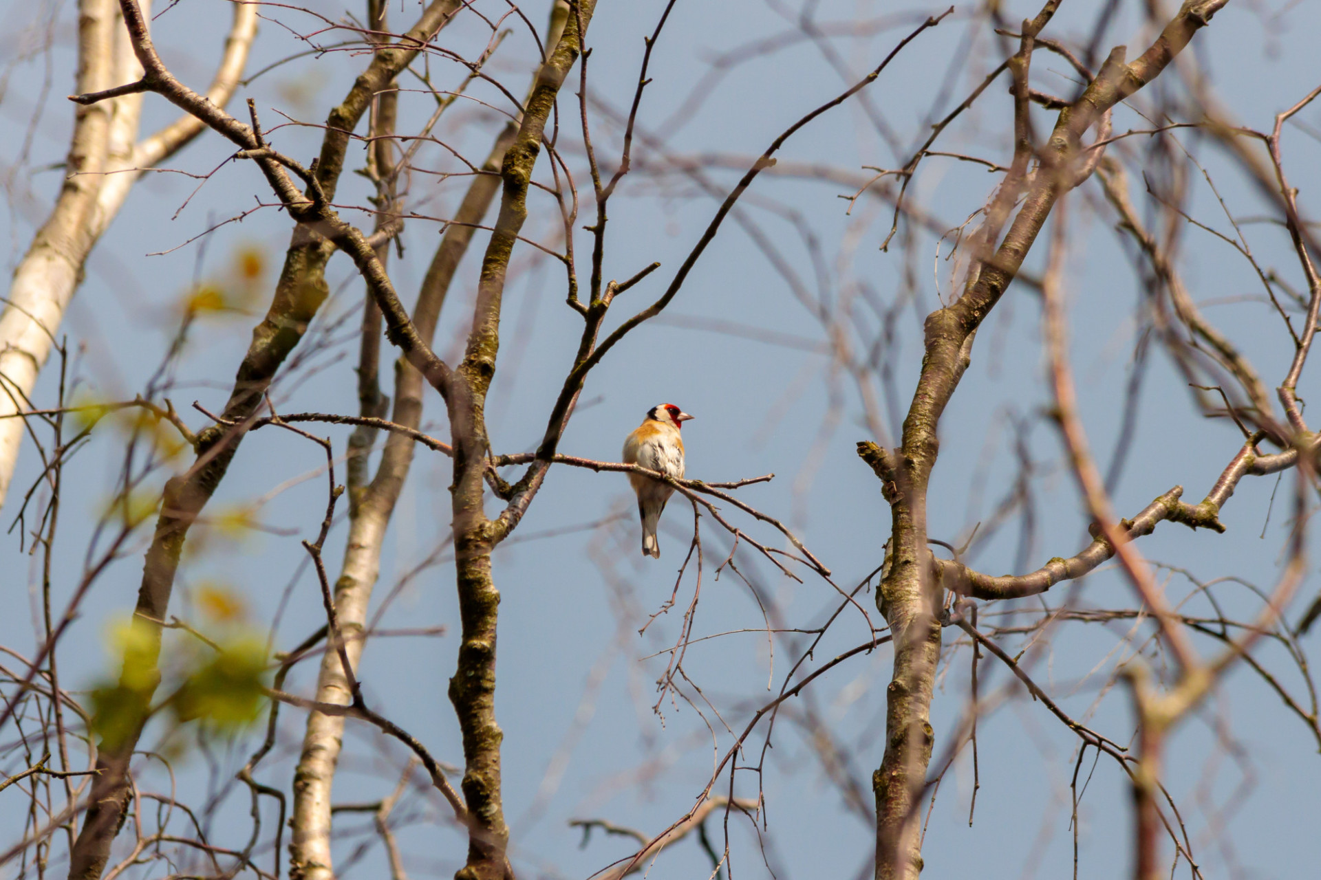Goldfinch on a tree