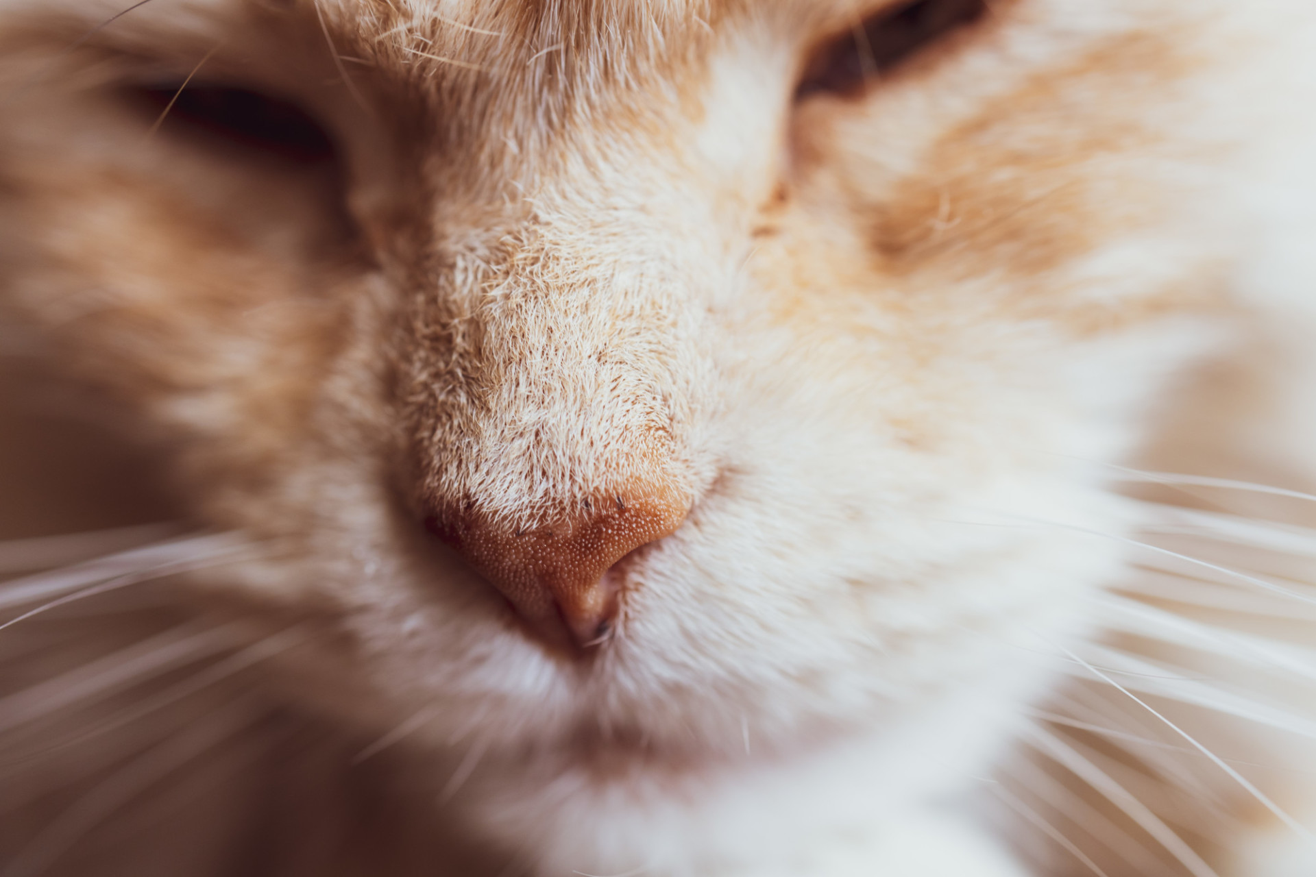 nose of a maine coon cat