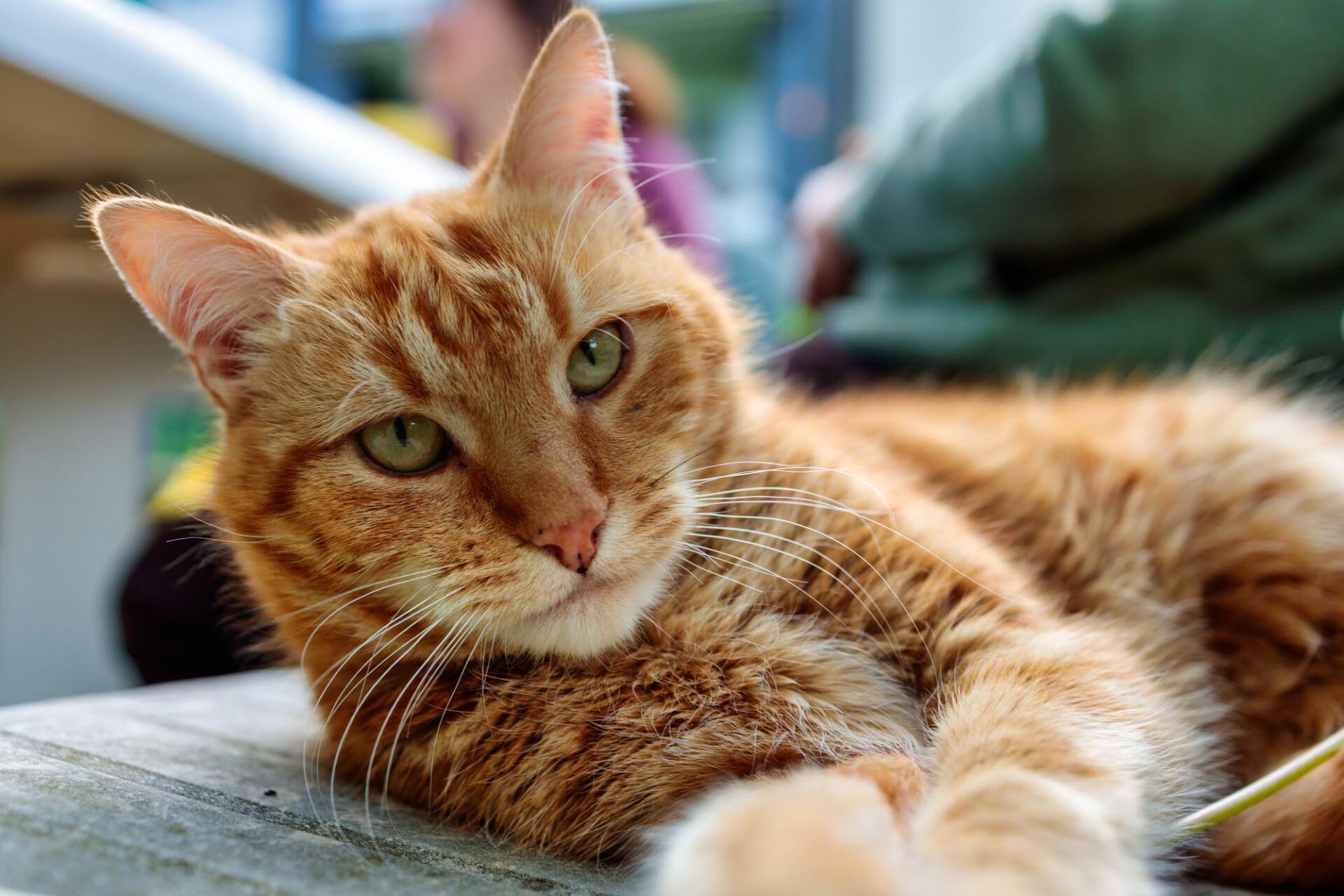 Cute red Cat Portrait