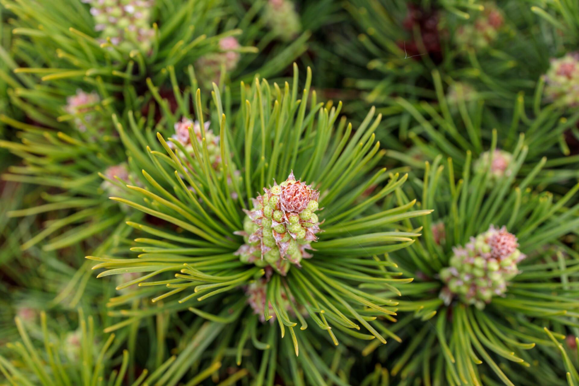 Fullframe Virginia Pine Cones Photo