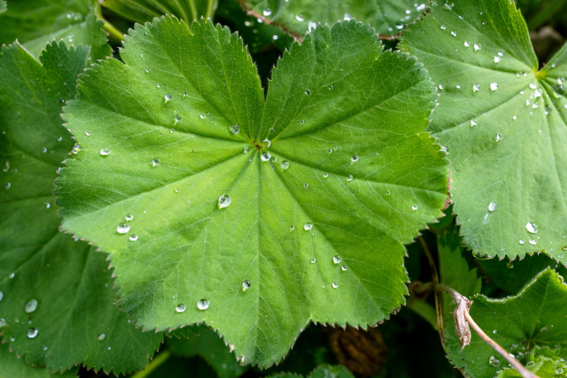 Alchemilla leaf with dew drops