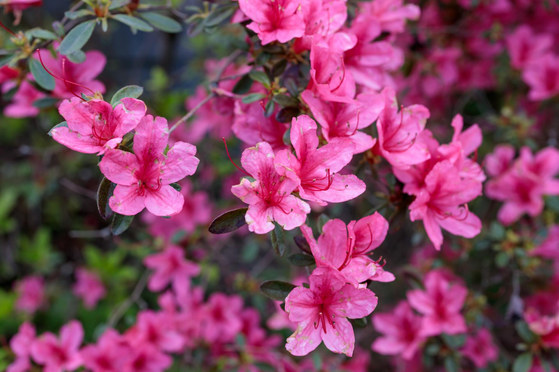 Rhododendron Ponticum Filigran